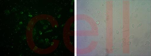 RNA干擾整體實驗服務, RNAi基因干擾, SiRNA實驗, RNAi